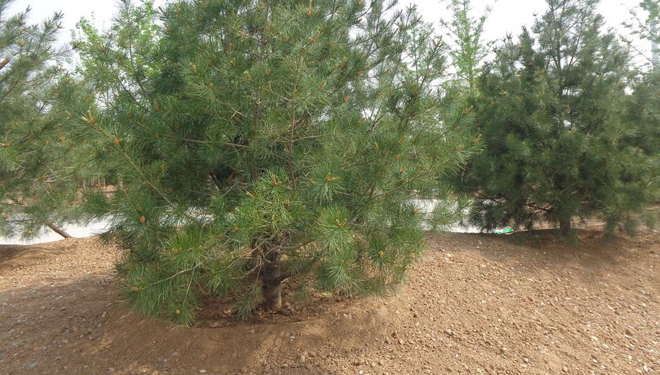 """""""一键绿化""""之树木移植现场实录"""