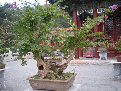 逐渐发展为梅花桩景,宫廷桂树,石榴盆景,牡丹盆景等等,中山公园