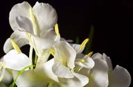 姜花是生姜的花吗,姜花怎么种植栽培