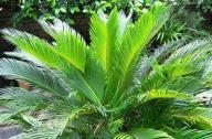 巴西木日常养护管理